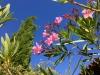 Blühender Oleander am Ferienhaus