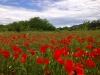 Feld mit Klatschmohn bei Vallon-Pont-d'Arc
